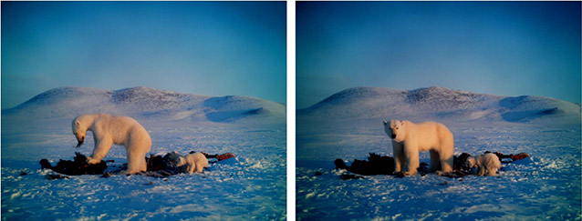 two images of a polar bear adult and cub eating a dead muskox