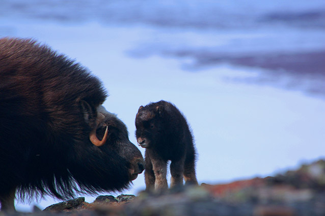 a muskox adult and baby