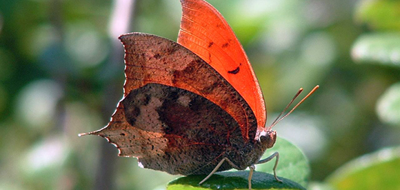 Orange and brown butterfly on a leaf.