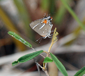A beige, white, and orange butterfly clings to a woody stalk on a plant.