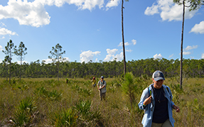 Two people walk through the vegetation of a pine rockland ecosystem.