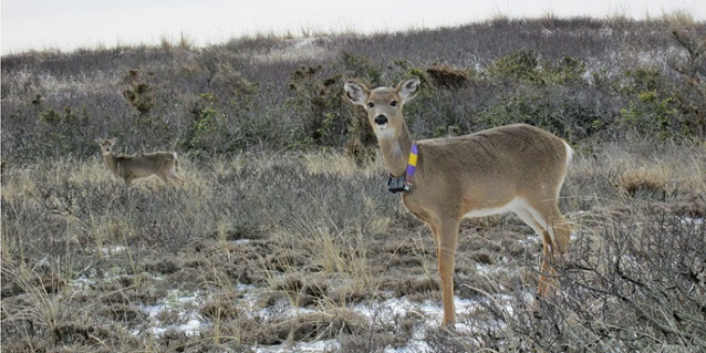 A female white-tailed deer with a GPS-enabled radio tracking collar on Fire Island.
