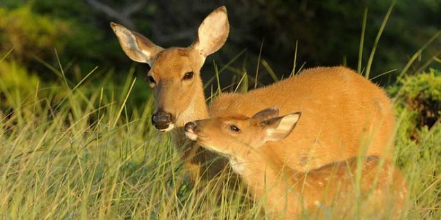 Doe and fawn stand in grass