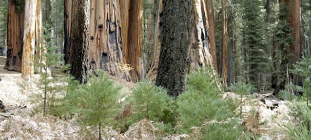 Sapling sequoias growing in the forest