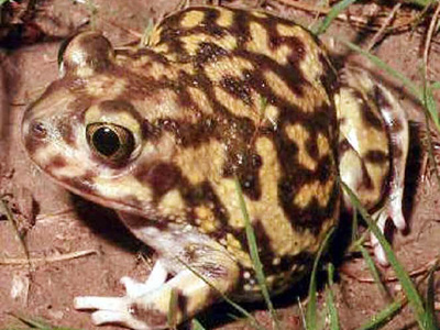 Side view of Couch's spadefoot toad