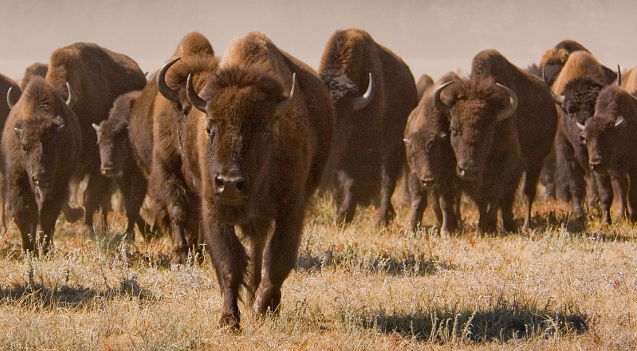 Bison herd approaching camera