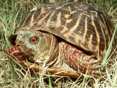 Portrait of an ornate box turtle in the grass