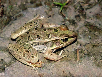 Flash photograph of a Rio Grande leopard frog