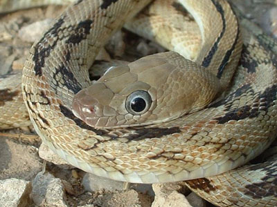 Close-up of Trans-Pecos ratsnake