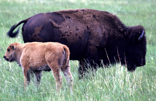 Bison calf and cow standing in grass