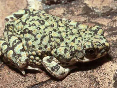 Western green toad on a reddish rock surface