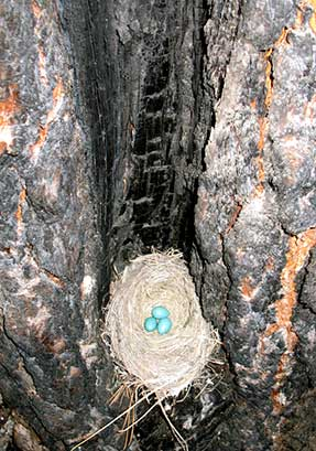 Birds nest with eggs inside a burned tree.