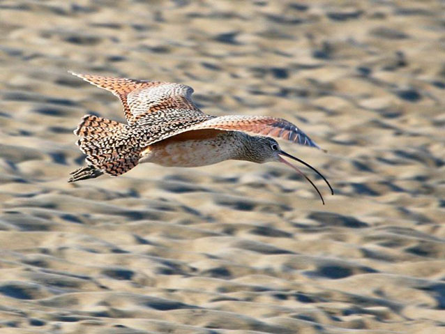 The long-billed curlew is a winter resident of the wetlands at the Presidio of San Francisco.