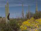Saguaros, cacti, and wildflowers