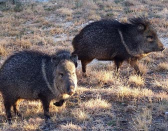 Javelinas in Guadalupe Mountains National Park