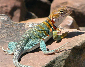 Collared lizard in Mesa Verde National Park