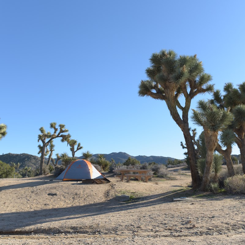 A tent is next to a Joshua Tree in a campsite.