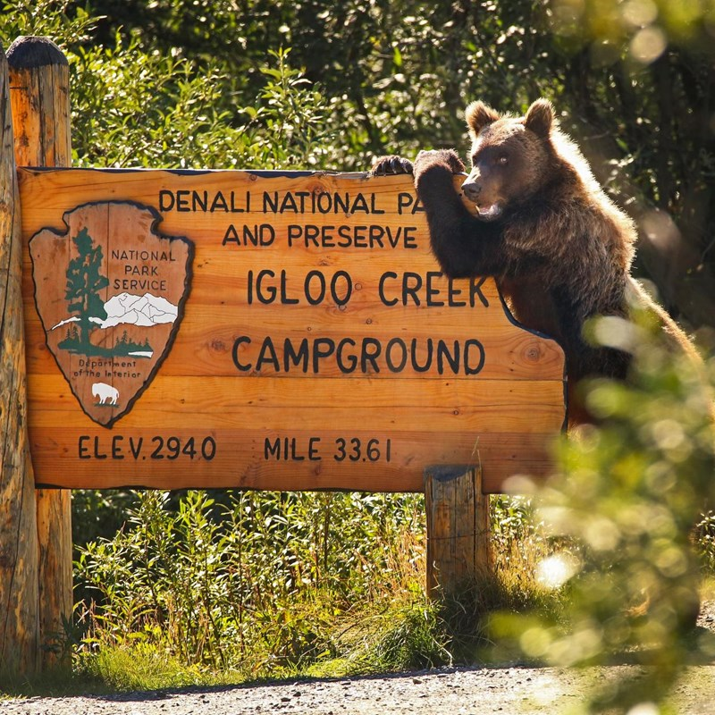 A grizzly on its hind legs leaning on a large wooden sign that reads
