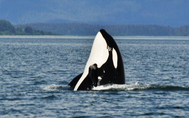 Killer Whales depend on sound to find their food