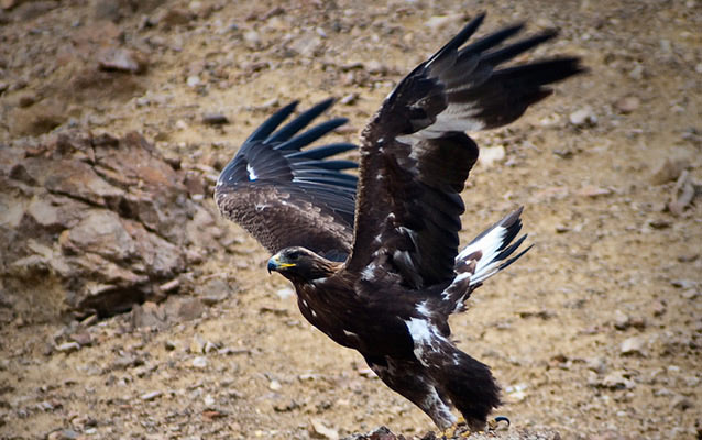 A golden eagle about to take flight from a rocky slope