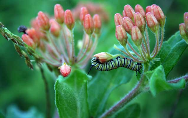monarch caterpillar on milk weed