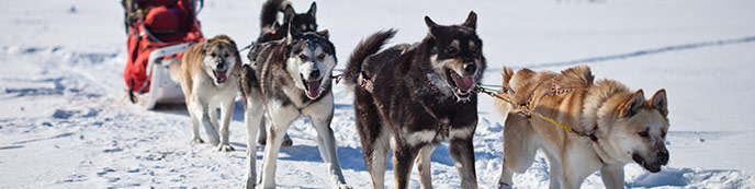 Five Alaskan huskies pulling a sled, ranger, in winter