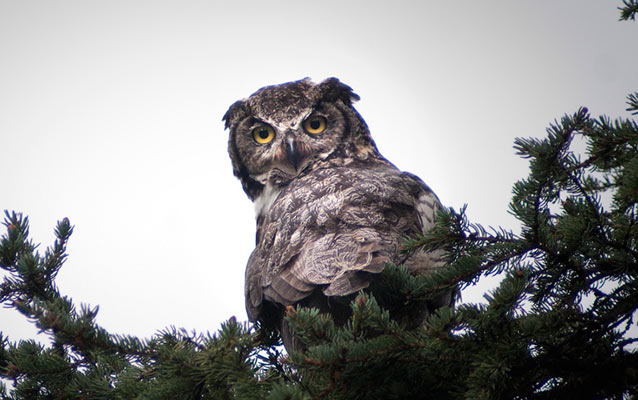 A great horned owl sitting on a spruce bough