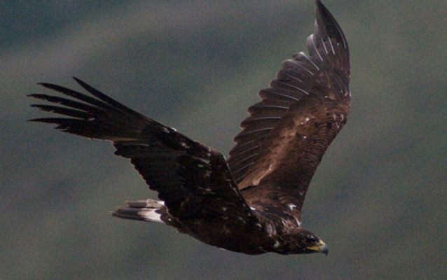 A golden eagle in flight