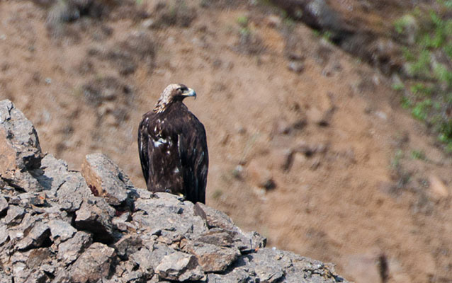A golden eagle perched on rocks