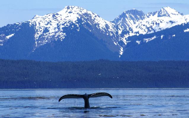 Humpback whale in Glacier Bay