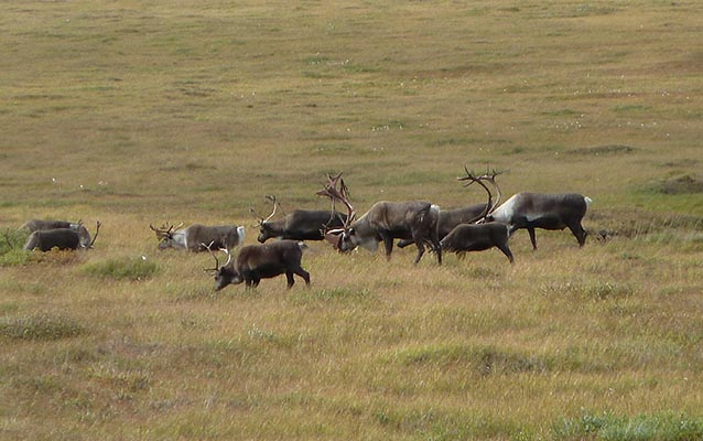 A herd of caribou grazing on the tundra