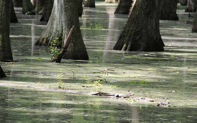 Alligator in the Cypress Swamp