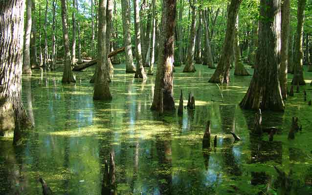 Cypress Swamp on the NTP