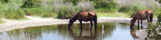 Wild horses drinking from one of the fresh water ponds