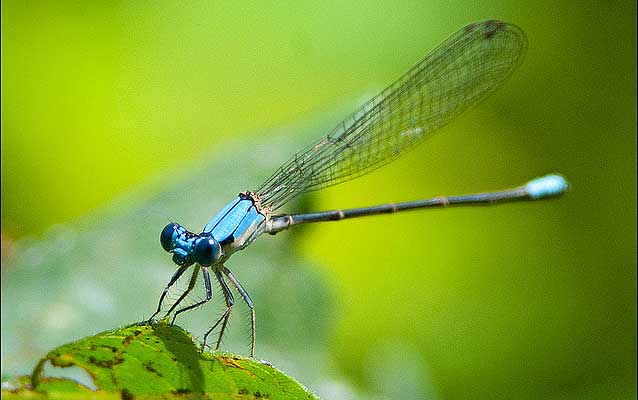 A closeup of a Blue-fronted Dancer Damselfly perched on the edge of a leef.