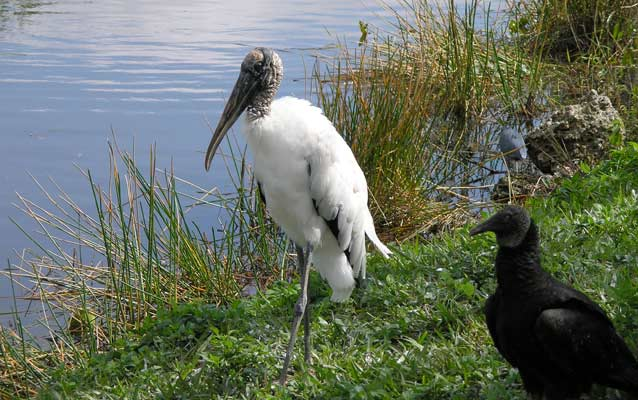 Woodstork and Vulture