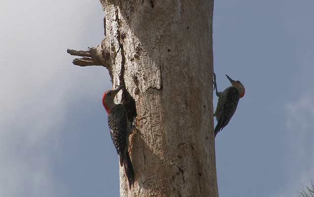 Woodpeckers on a tree