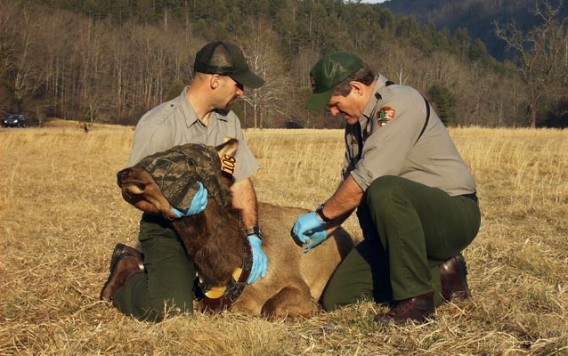 Rangers working with an elk in Cataloochee Valley.