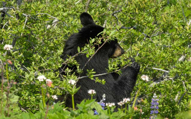 a black bear partially screened by brush