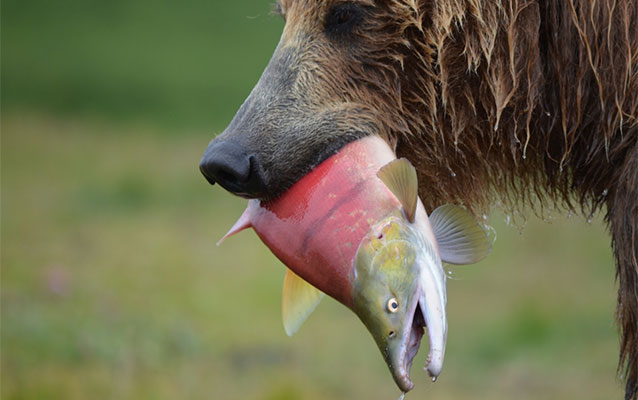 brown bear holding a red colored salmon in its mouth