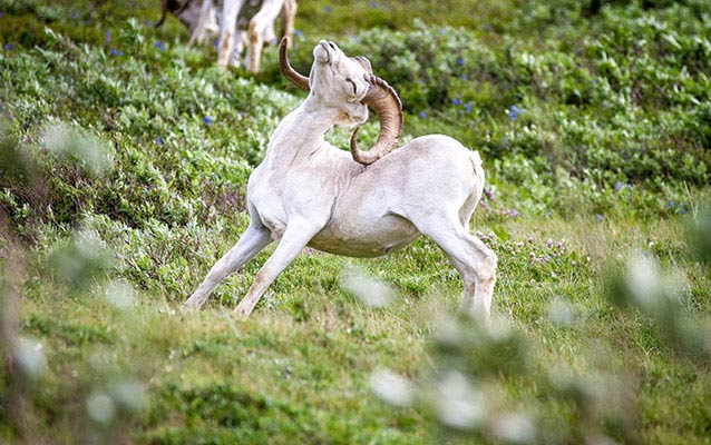 a Dall sheep scratching it's back with its horns