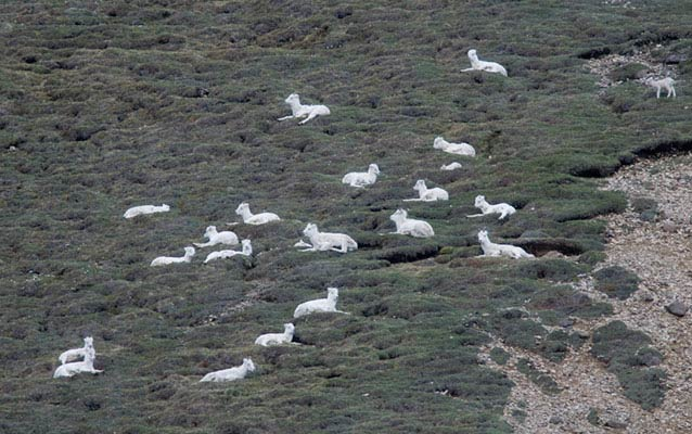 numerous sheep bedded down on tundra