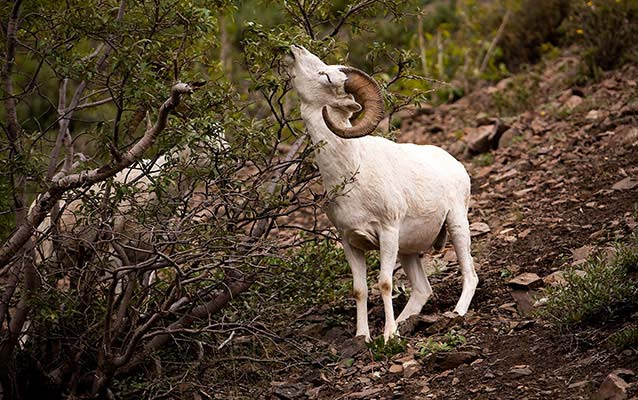 A Dall sheep stretches its neck to eat vegetation
