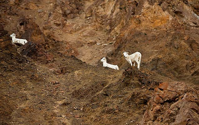 Three Dall sheep on a rocky ridge