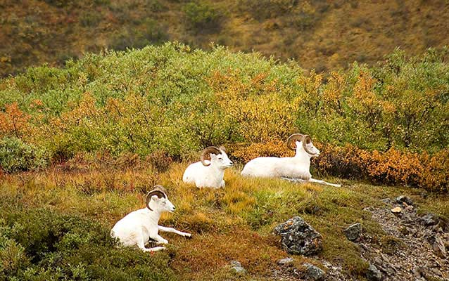 autumn scene of three sheep sitting amid orange, red and green foliage