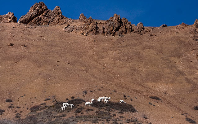 a band of sheep on a rocky slope