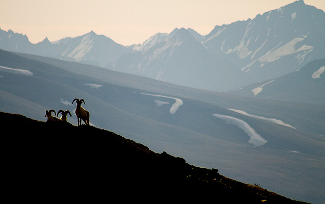 silhouetted Dall sheep on a ridge, mountains in the distance