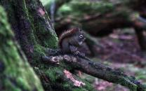 Red Squirrel sitting on a mossy branch in the Alaska Temperate Rainforest