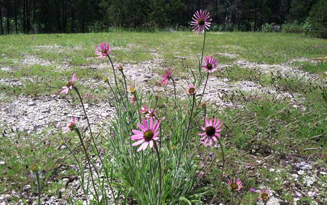 Tennessee coneflower blloms in a cedar glade.