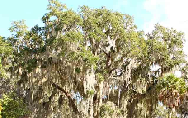 spanish moss hangs from a tree